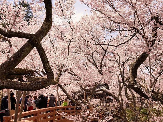 高遠の桜a _高遠城跡