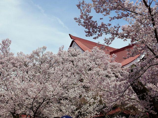高遠の桜b _高遠城跡