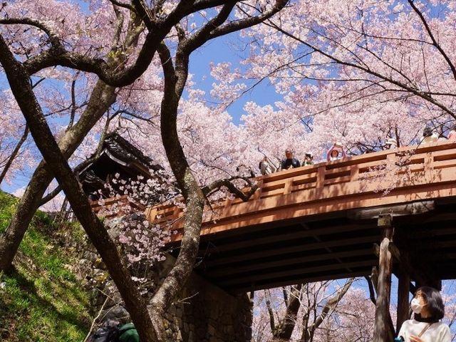 高遠の桜c _高遠城跡
