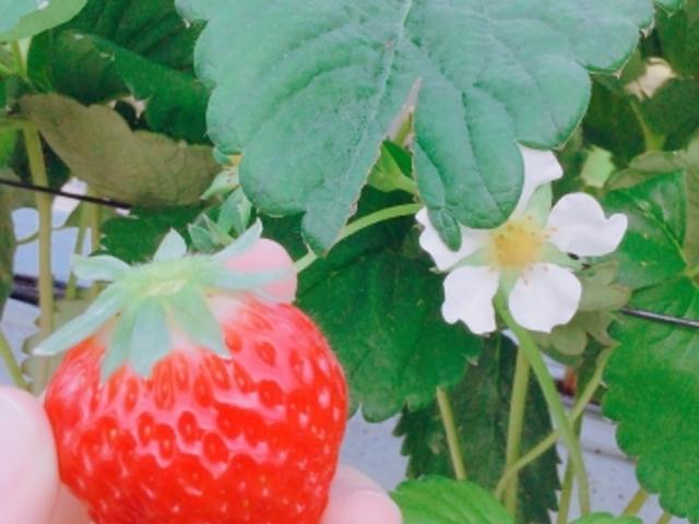 真っ赤で綺麗ないちご_川原いちご農園