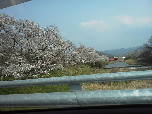 川にかけられた橋から川沿いのサクラを撮影したものです。_城山公園の桜