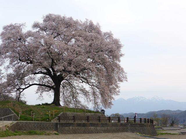 わに塚の桜_わに塚のサクラ