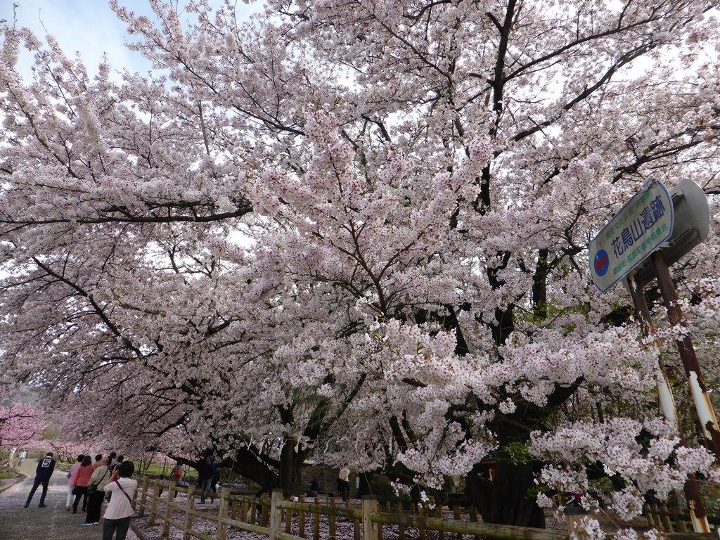 花鳥山一本杉の桜
