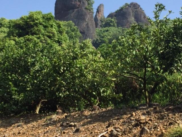 ミカン畑から不動岩を眺める。_不動岩