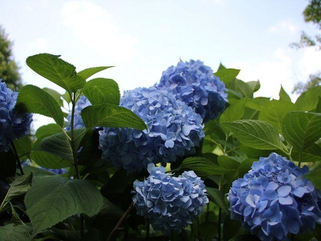 紫陽花 少ないですがキレイです。_山田池公園