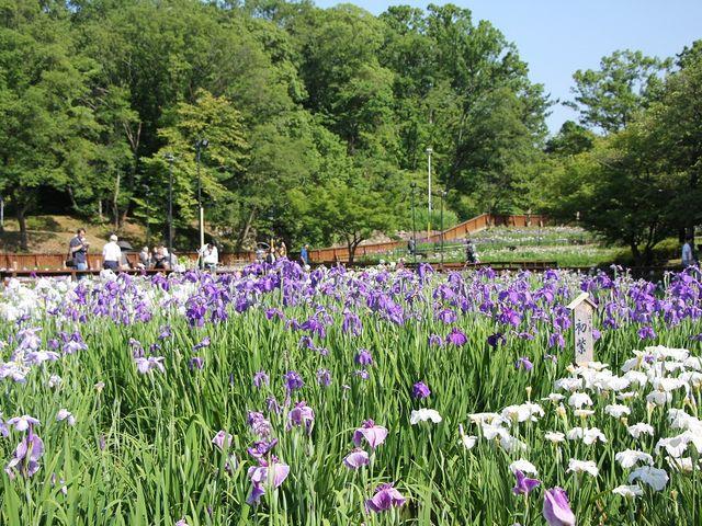 菖蒲 色とりどりでキレイです。_山田池公園
