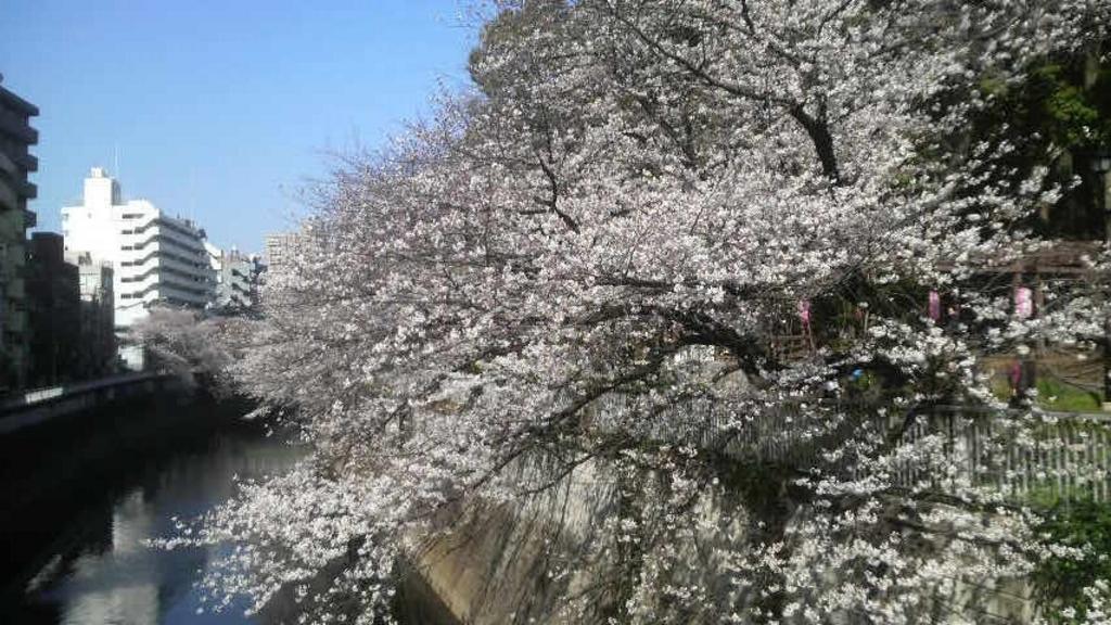 江戸川公園のさくら