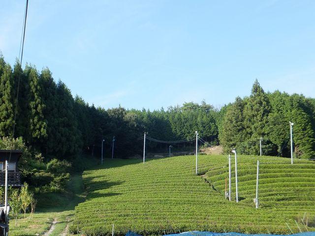 きれいな茶畑:南山城村なのだと実感。_童仙房高原