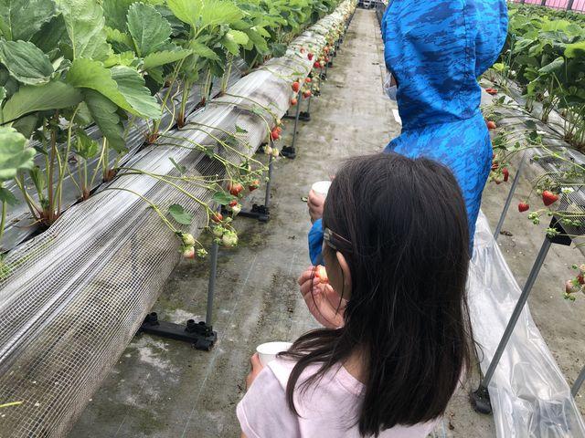子供でも摘みやすい高さにイチゴがあります_川原いちご農園