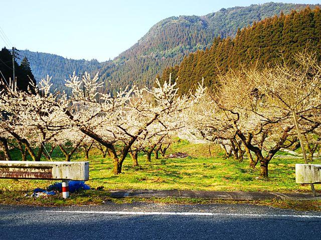 近くでは梅が満開_道の駅水辺の郷おおやま