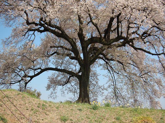わに塚の桜5_わに塚のサクラ