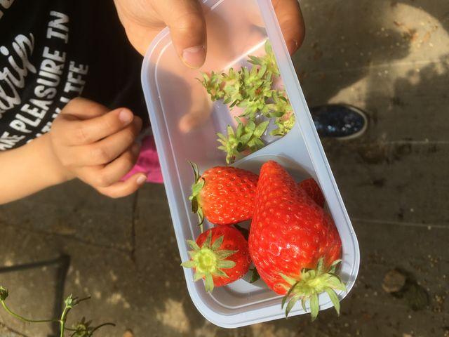 お店の方に教えてもらった通り、へたの反った苺を選んだらとても甘かったです!_新井ファームはっぴーいちご園