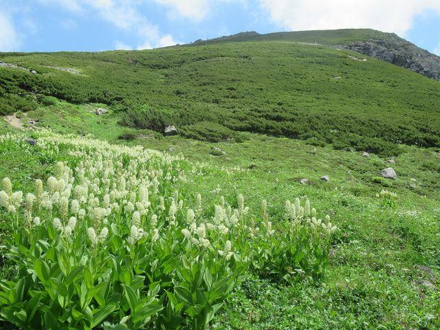 群生する高山植物_畳平