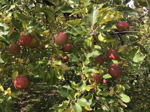 たくさんのリンゴがたくさんなってしまいました。_田村りんご園