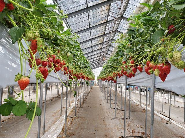 11時頃の訪問でしたが、赤いいちごが沢山ありました。_いちごハウス 伊藤園芸
