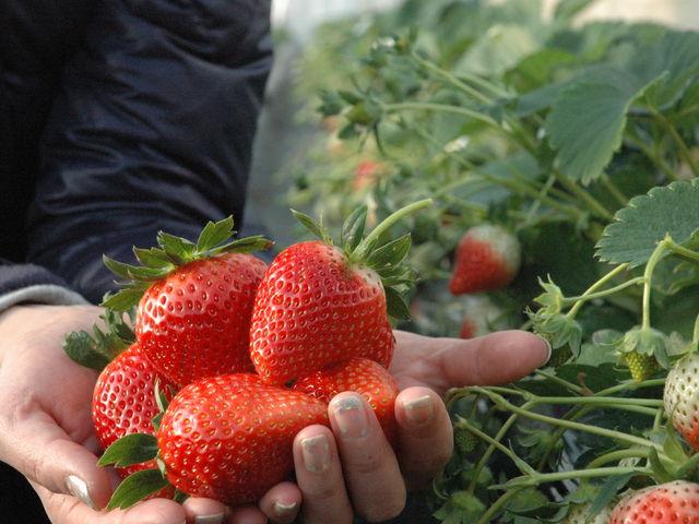 横芝光町をはじめとした山武地域はイチゴの産地でもあります。1月中~4月末_田舎日記