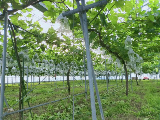 20種類の葡萄がお楽しみ頂けます。_あわら温泉フルーツパークOKAYU