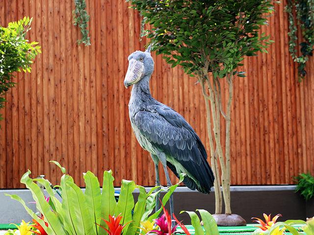 人気のハシビロコウ「ふたば」に会いにきて_掛川花鳥園