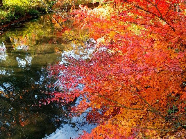 紅葉が綺麗でした。_金鱗湖