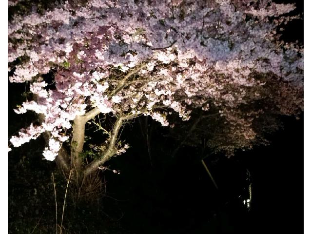 美しい早咲きの桜を夜桜でも楽しむ。 _川根温泉ふれあいの泉