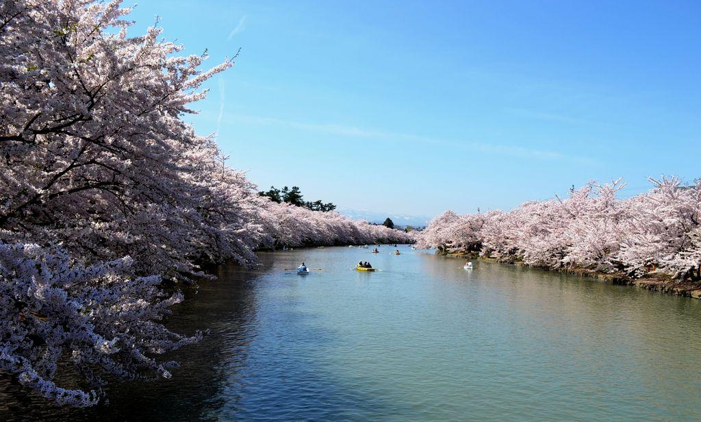 三 春の 桜 見頃