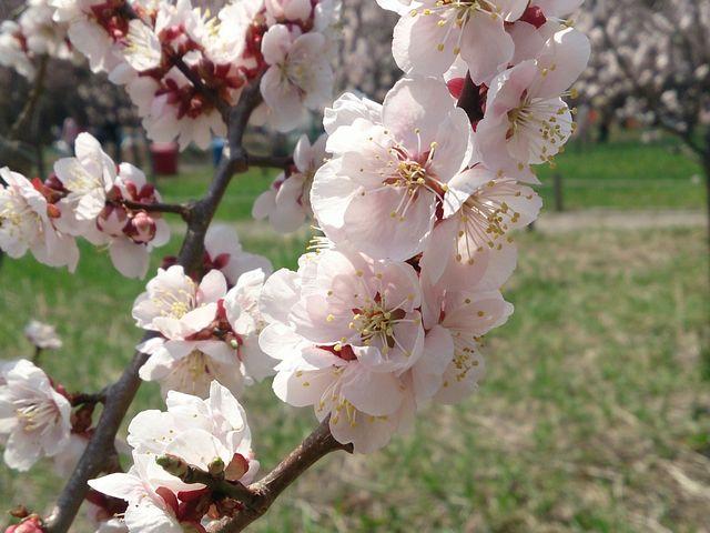 円山公園の桜もキレイです。_北海道神宮