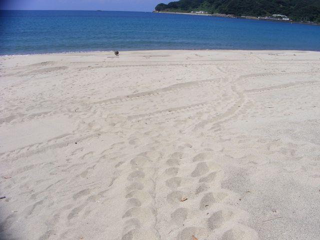 産卵後、ウミガメが海に戻った際にできた足跡_手打海岸