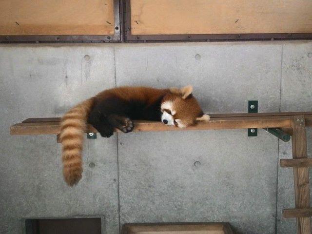 レッサーパンダの茶々さん_京都市動物園