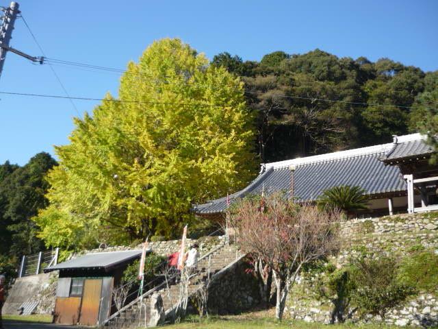 手前の少しピンクに見える灌木は マユミの木 弓の材料に。実がたわわになり見事だった。_光泉寺の子授けイチョウ