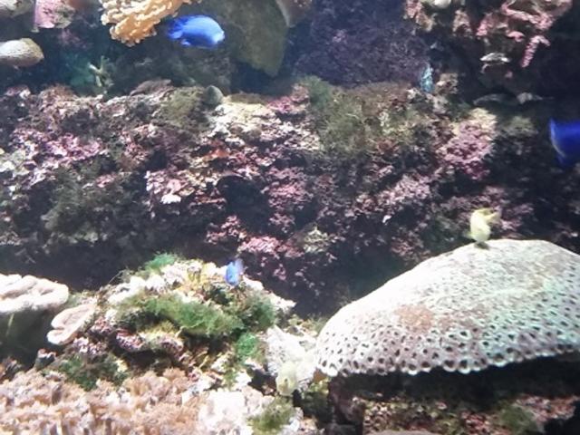 珊瑚もカラフルで綺麗でした_白浜海中展望塔 (コーラルプリンセス)