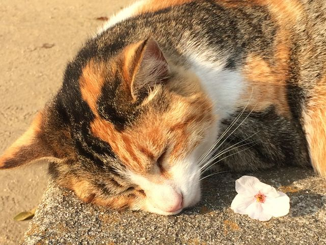 猫と桜。_尾道