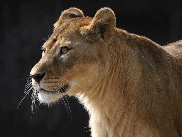 ライオンです。_天王寺動物園
