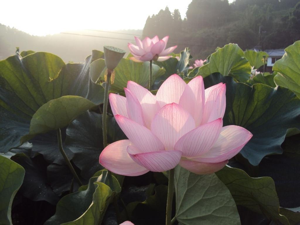 国宝臼杵石仏の蓮の花