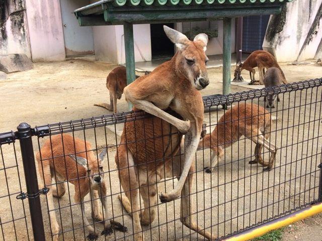 こんなに近くでカンガルーが!_東山動植物園