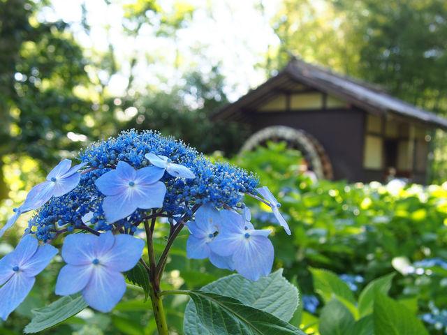 紫陽花が沢山咲いてました!_府中市郷土の森博物館