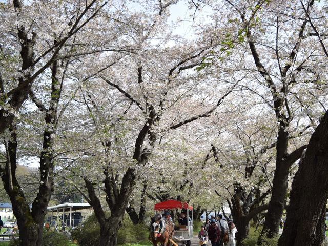 北上展勝地は初めて訪れました。訪れた時ソメイヨシノは残念な事に桜吹雪でしたが、風に舞う桜吹雪も綺麗。_北上市立公園展勝地
