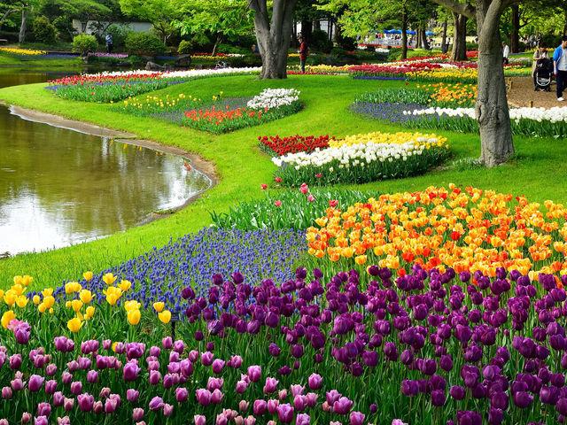 昭和記念公園のチューリップ_国営昭和記念公園