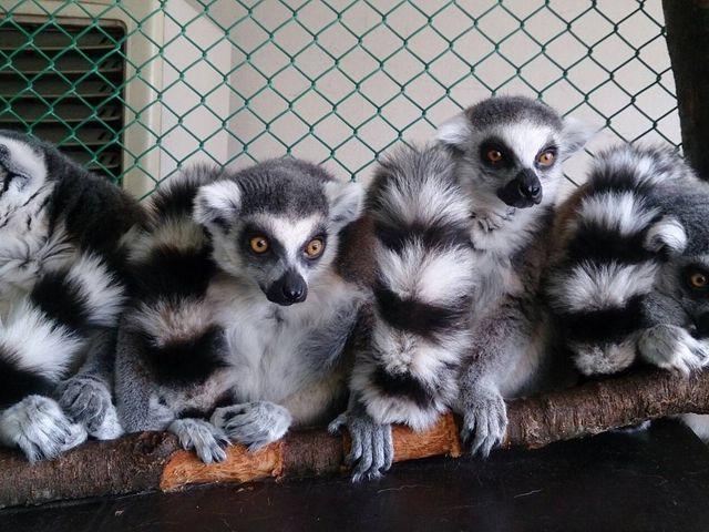 間近にみれます 他にも触れるお猿さんいます_那須ワールドモンキーパーク