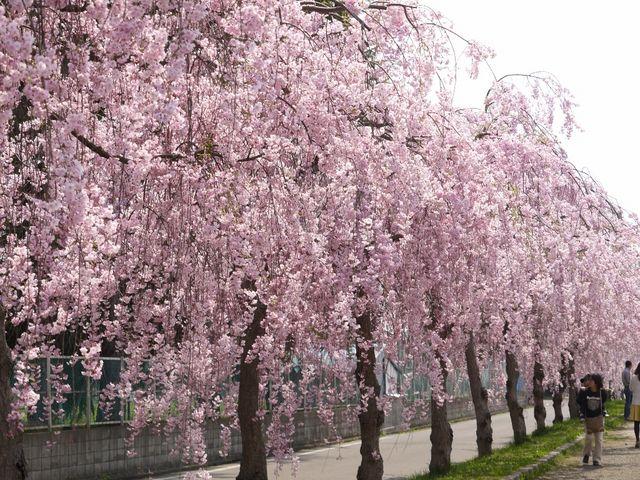 桜並木が続きます。_日中線しだれ桜並木