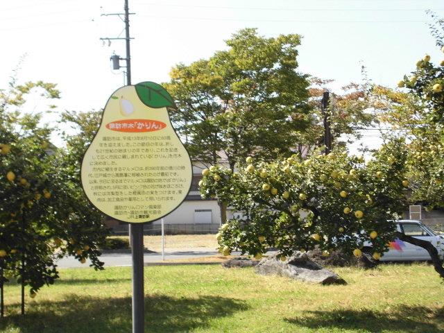 市の木だそうです_諏訪湖畔のかりんの花