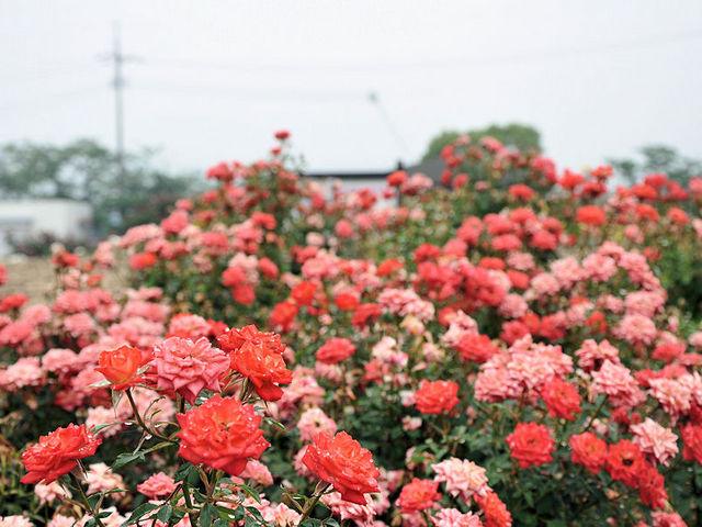 一面バラだらけです_よしうみバラ公園
