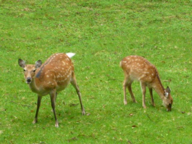 野生の親子鹿_金華山