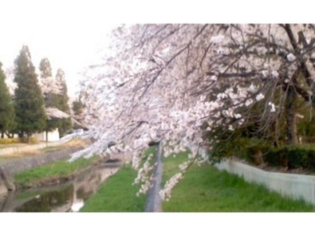 桜満開です_小瀬スポーツ公園