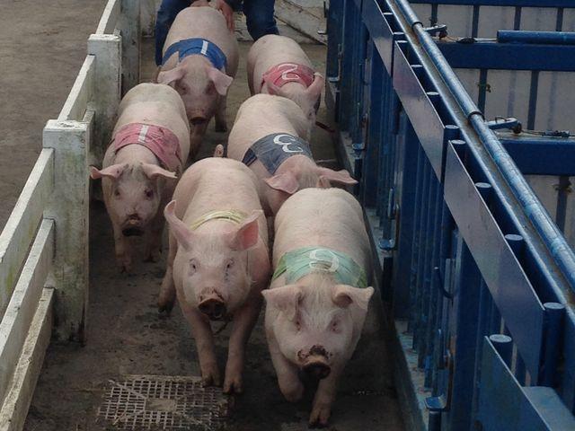 豚がいっぱい_マザー牧場