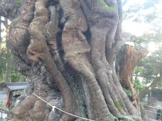ご神木も裏に回ってみると…_来宮神社の大楠
