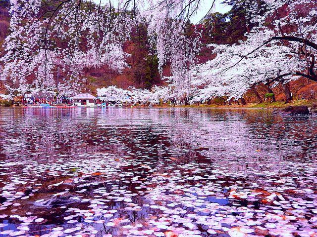 臥竜公園の桜】アクセス・営業時...