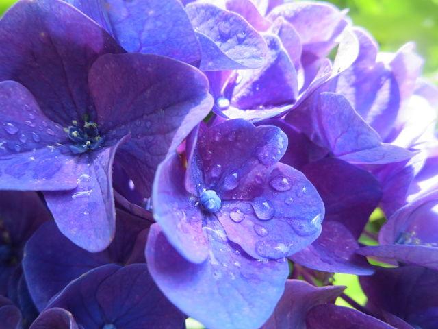 とても暑い日でした。管理の方が お水をまいた後で水滴があります。色も好きです。_横浜イングリッシュガーデン