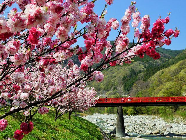 湯の瀬橋と花桃 _昼神温泉郷