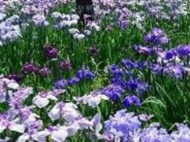 大和中央公園花しょうぶ園_大和中央公園花しょうぶ園