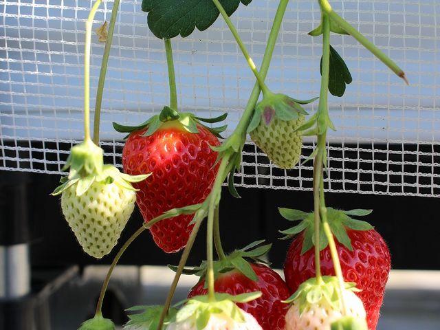 根元まで赤いイチゴを選ぶよう教えてくださいました!_川原いちご農園